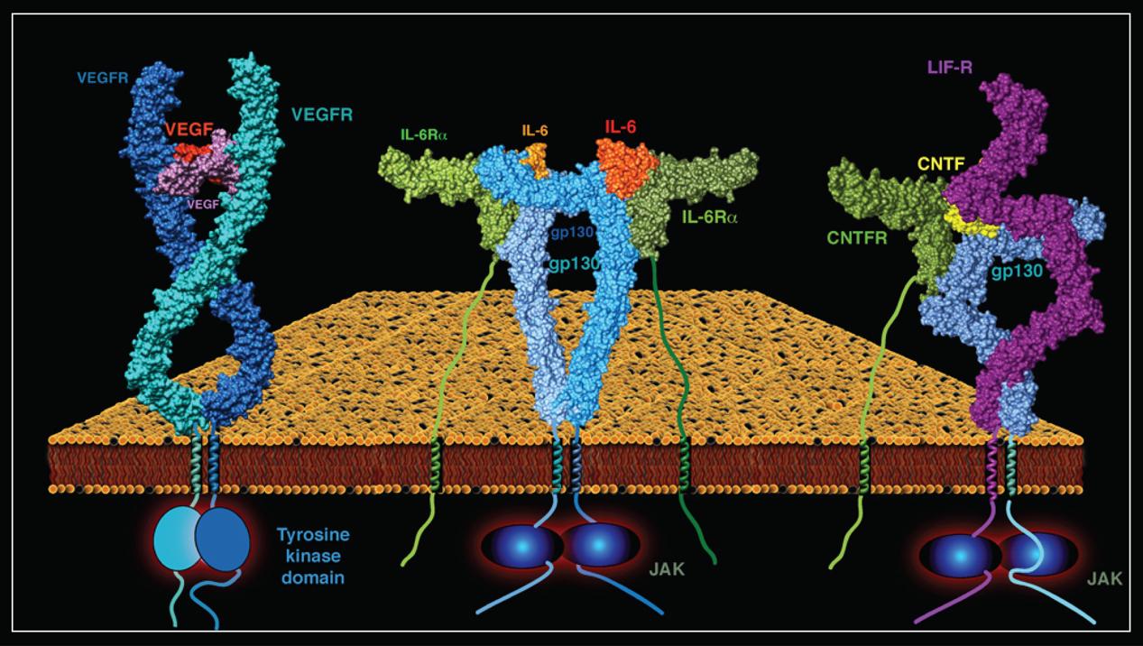 steroid molecule diffusion