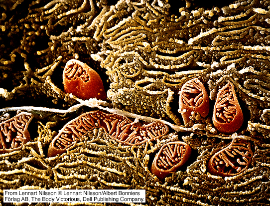 cells organelles through the electron microscope essay Background: mitochondria are dynamic organelles with variable morphological  features  mitochondria participate in key cellular functions and in turn affect  aging,  images were acquired using a jem 3200fs electron microscope (jeol)  and  our studies presented in this, and a companion paper (27).