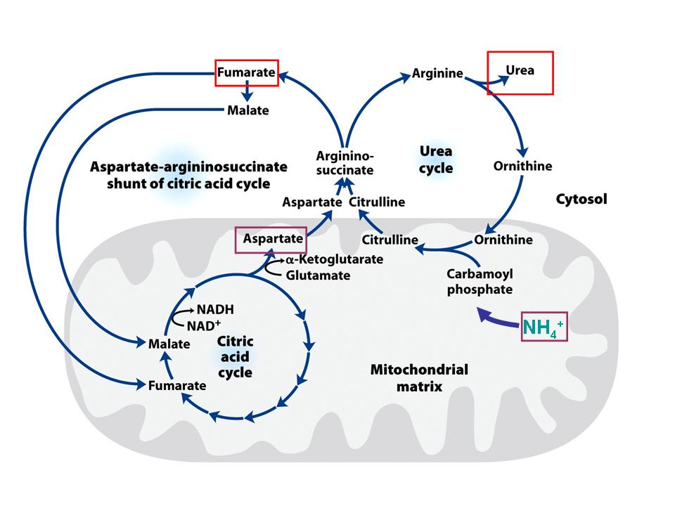 Amino Acids Chemistry Biochemistry Nutrition Amit Kessel Ph D