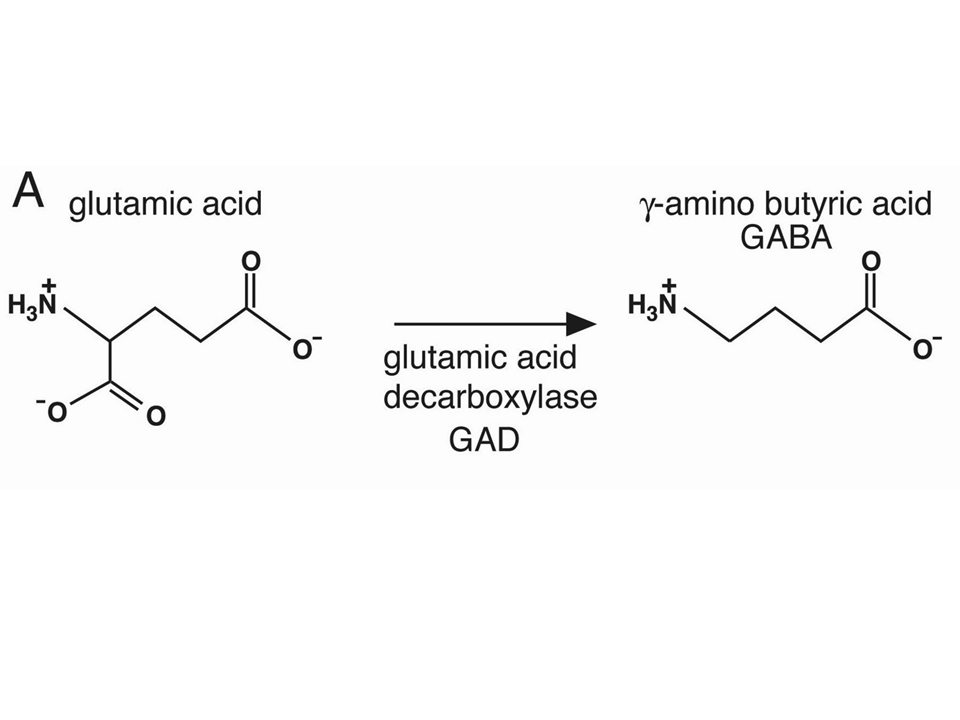 liver synthesis